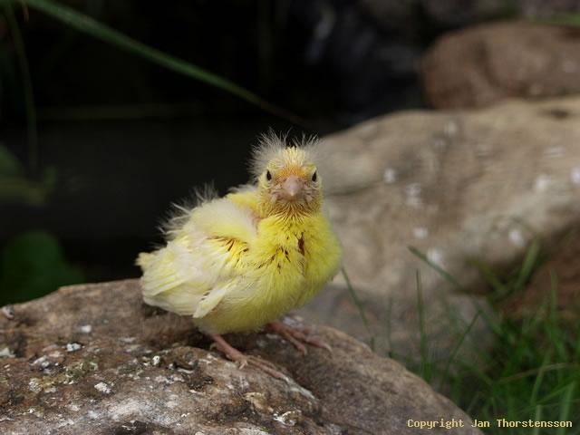 Utflugen kanariefågel