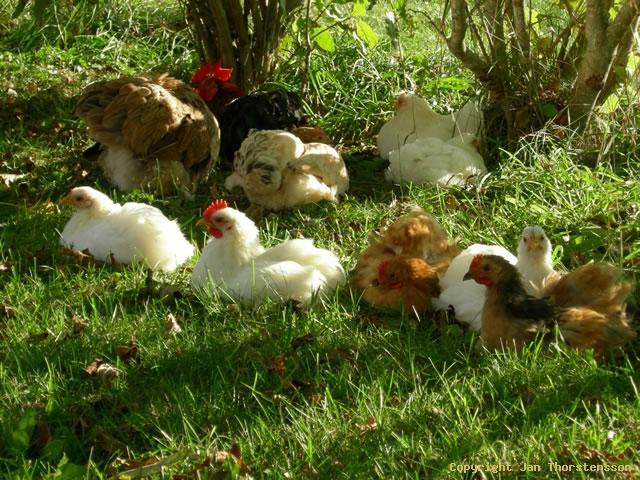 Kycklingarna knatar på…