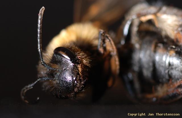 Ett bi