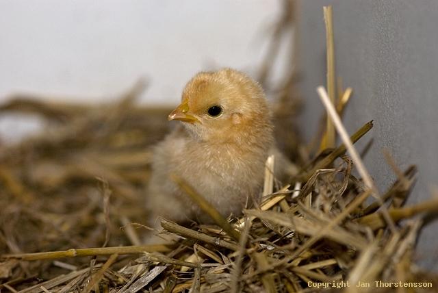 Nya kycklingar