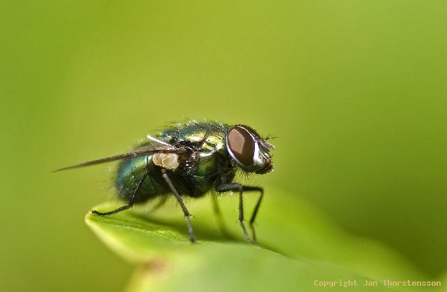 En fluga i grönt