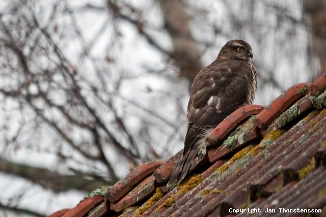 Mer rovfågel