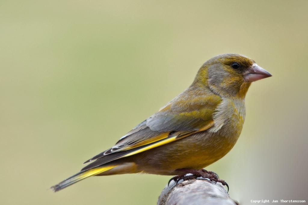 Lugnt på fågelfronten